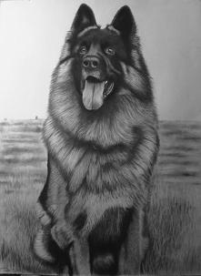 Dasco, owczarek niemiecki, ołówki i węgiel na papierze akwarelowym, 56x76 cm,...