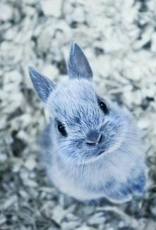 Niebieski króliczek ♥ ♥ ♥