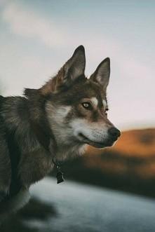 #wilk #oczy #eyes #smycz #z...