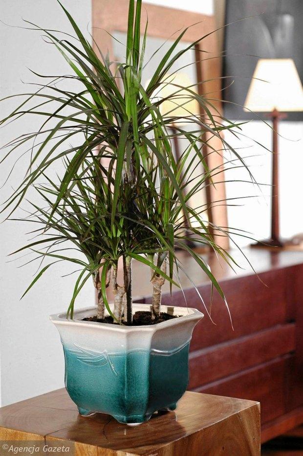 Dracena. Tej popularnej i odpornej roślinie doniczkowej odpowiada miejsce jasne lub oświetlone rozproszonym światłem. Starajmy się, by podłoże (może być uniwersalna ziemia dla kwiatów doniczkowych) było stale lekko wilgotne. Na dnie pojemnika powinien się znajdować drenaż, gdyż draceny nie lubią moczyć korzeni w wodzie.