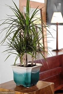 Dracena. Tej popularnej i odpornej roślinie doniczkowej odpowiada miejsce jasne lub oświetlone rozproszonym światłem. Starajmy się, by podłoże (może być uniwersalna ziemia dla k...