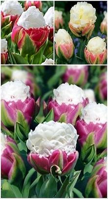 """tulipany """"Ice Cream"""""""
