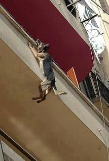 Pies zwisał z balkonu na dr...