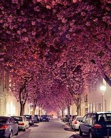 Aleja kwitnącej Wiśni w Bon...