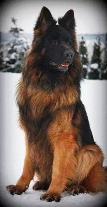Long-haired German Shepherd Dog.