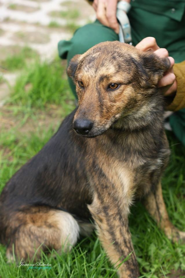 Bobi - ur. ok 2013, w schronisku od sierpnia 2014 r, wykastrowany, zaszczepiony.  Bobi, młody, bardzo łagodny, posłuszny pies, średniej wielkości, o wyjątkowym umaszczeniu. Lubi się przytulać, jest baaardzo mądrym psem! Lubi dzieci.  Większość wolontariuszy(wolontariuszek) jest w nim zakochana, podbija kobiece serca.   *Bobi został porzucony, przybłąkał się do gospodarstwa, ale tam był przeganiany bo niby dusił kury, Pan gospodarz już chciał się go pozbyć na dobre :( ale nie udało mu się, na szczęście schronisko zareagowało w porę i tak Bobi został Zbożniaczkiem.  Przebywa w schronisku dla bezdomnych zwierząt w Zbożne k Morąga warmińsko-mazurskie