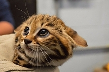 Kot czarnołapy (Felis nigri...