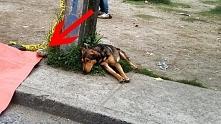 Smutny pies leży na chodnik...