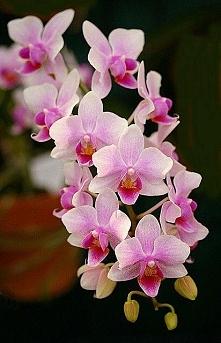 orchidea-storczyk