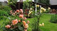 Róże... pięknie.