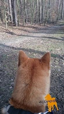 Shibowe zakamarki, czyli nasza wycieczka do lasu. Chcecie się dowiedzieć więcej? Wpadajcie na rudyshibau.blogspot.com  >życie z shibą >nasze doświadczenia >problemy >...