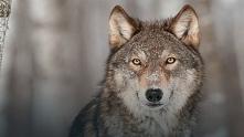 Śliczny wilk