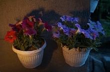 Nasze kwiaty