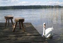 stołki jezioro i goście - łabędzie
