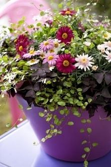Różnokolorowe margerytki (Argyranthemum frutescens), szczawik o fioletowych liściach (Oxalis) i delikatnie zwisające kocanki (Helichrysum)