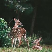 zwierzęta, sarna