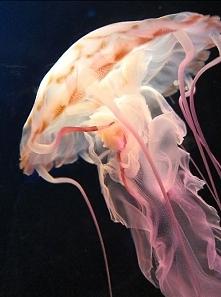 zwierzęta, meduza