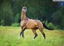 Koń achałtekiński