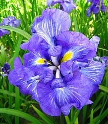 kwiaty, irys, kosaciec