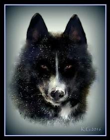 Mój twór w paincie xd duuużo roboty ale efekt uznam za satysfakcjonujący ;) rysunek przedstawia sunie siberian husky BLACK SABATH Anana Amarok z polskiej hodowli :)