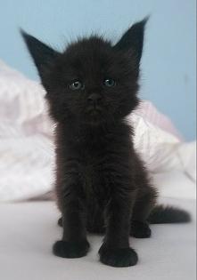 Sprzedam tego kociaka MCO :) prawdziwy rodowód FPL