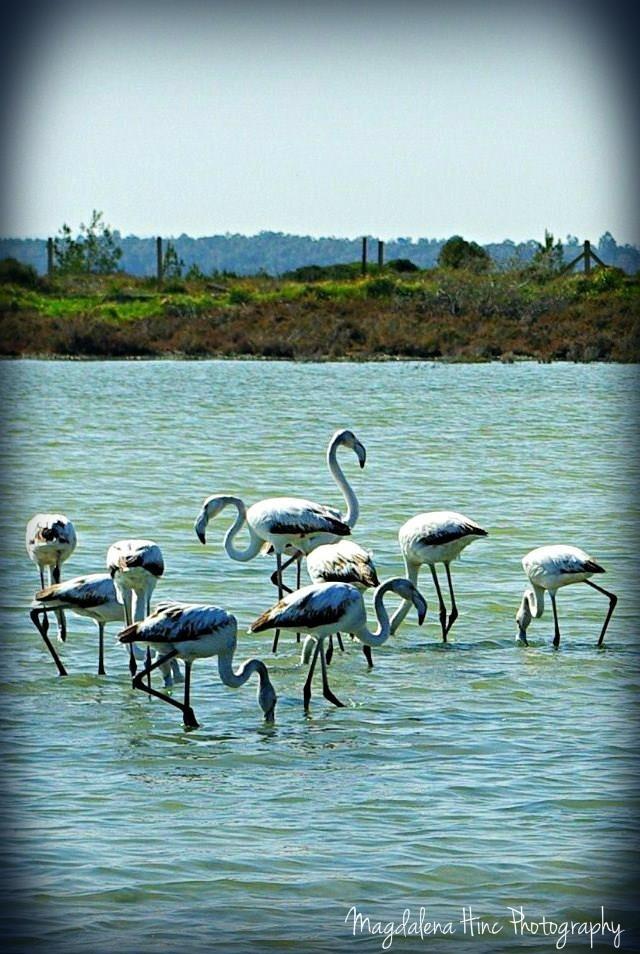 Flamingi  Cypr