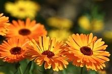 Oliwka z nagietka: Świeże liście z nagietka umieść w słoiku (1/3) zalej olejkiem arganowym lub migdałowym. Odstaw na 14 dni w ciepłe, słoneczne miejsce. Pamiętaj żeby codziennie...