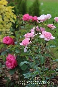 Róże...