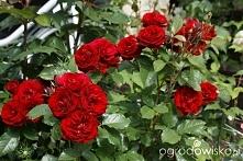Czerwone róże Lavaglut... p...