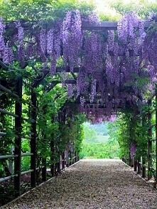 Piękna wisteria **