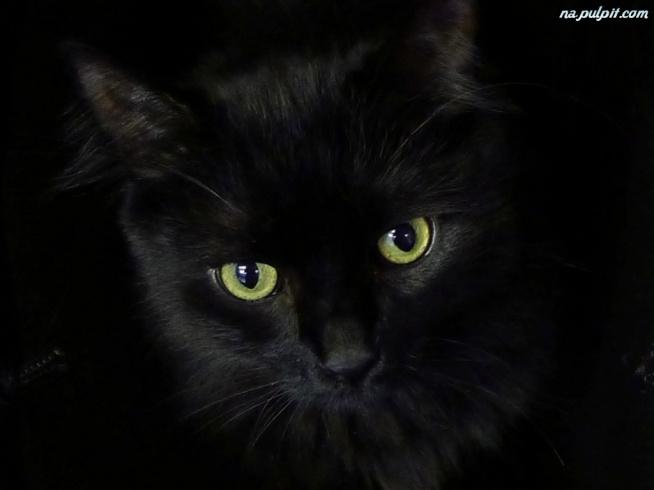 czarny kot y
