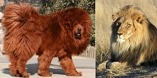 """#53 LEW MADE IN CHINA - Chińskie zoo wypuściło na wybieg psa rasy mastif tybetański, by ten """"grał"""" role lwa. Oszustwo by się udało, gdyby """"lew"""" nie zaczął sz..."""