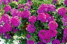 Werbena W skrzynkach najczęściej sadzi się odmiany o zwisających pędach. Na rynku dostępne są serie o drobnych (3 cm średnicy) lub większych (5 cm) kwiatostanach z kwiatami poje...