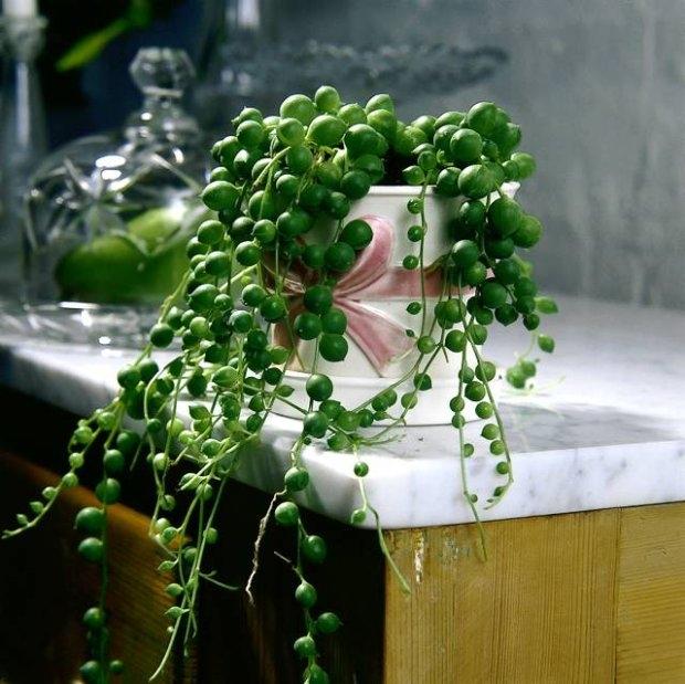 Starzec Rowleya  Sukulent ten przekształcił swoje liście w małe kuleczki z zaznaczonym szpicem. By do wnętrza kuleczki dostawało się światło potrzebne przecież w procesie fotosyntezy każda kuleczka ma małe podłużne okienko w postaci prawie przezroczystej tkanki. W tych właśnie kuleczkach roślina gromadzi wodę. Poszczególne kuleczki przyczepione do cienkich i wiotkich pędów wyglądają jak sznurki z nanizanymi paciorkami. I w tym niecodziennym wyglądzie prawie cała uroda rośliny. Inną częścią tej urody są kwiaty.