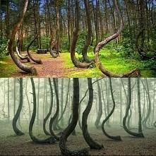 Krzywy Las, miejsce w Polsce, które trafiło do zestawień największych dziwow ...