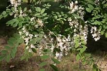 NALEWKA AKACJOWA  Składniki: * 2 litry lekko ubitych samych kwiatków akacji *...