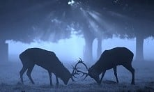 deers *.*