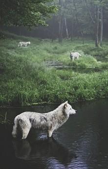 Wilk w jeziorze.
