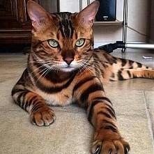 kotek jak tygrysek
