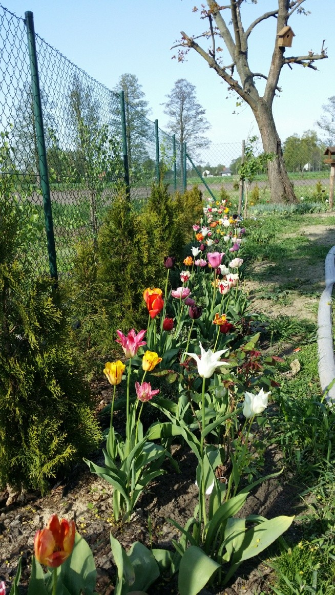 Tulipany cz1