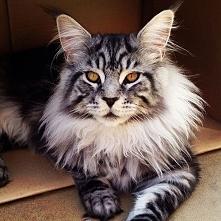 cudowny kociak *,*  rasa maine coon największy kot domowy <3