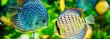 Strona poświęcona akwarystyce słodkowodnej. Główną tematyką są ryby akwariowe...