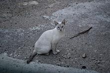 Majorkański kot o niebieskich oczach