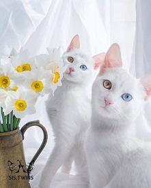 Kocie bliźnięta :) i te oczy...cudowne futrzaki!