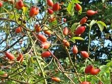 """NALEWKA Z DZIKIEJ RÓŻY """" I""""  1/2 kg owoców dzikiej róży i 5 dag. cukru zalać 1 litrem mocnego białego wina 18% lub wódką 40% .odstawić w ciepłe miejsce na .Po uplywie ..."""