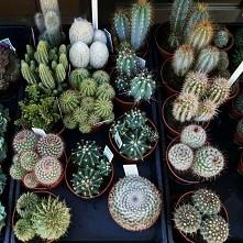 cactus♡