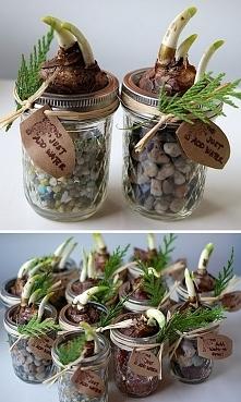 Cebulki bulby kwiatów w słoiczkach. Ozdobne DIY
