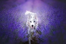 This wolf is a miracle