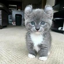 Czy wie ktoś może co to za rasa kota?