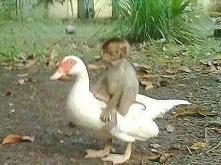 Gęś i małpa przyjaźniły się...